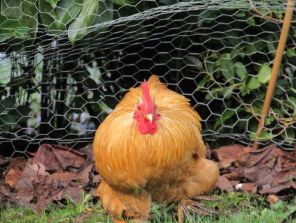 our fabulous cockerel