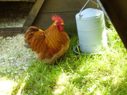 Muffin, our home bred ginger pekin cockerel