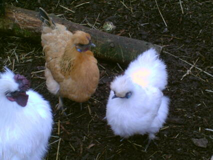 white silkie and silkie cross sussex
