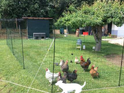 Omlet chicken fencing chicken coops and pet chicken - Filet a poule ...