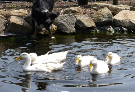 Ducklings grown fast now in their own pond