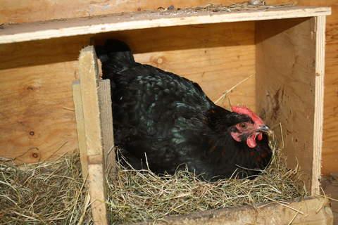 a maran hen