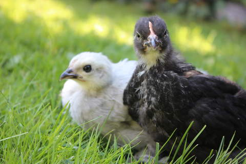 Pekin Chicks, by Backyard Bounty