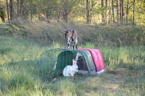 Chèvre et lapin adorent OMLET