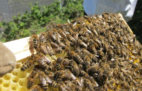 bees on newly drawn comb