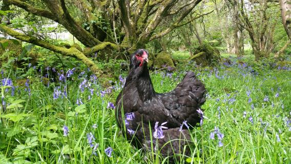 black brahma in bluebell field