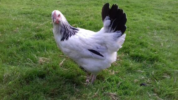 RIR x White Sussex pullet