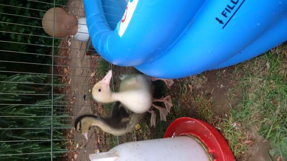 jens's ducklings!