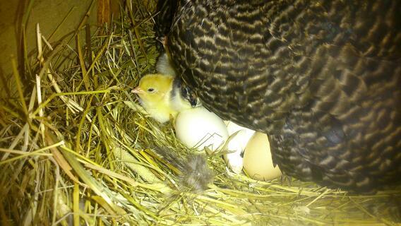 scots grey hatching eggs.