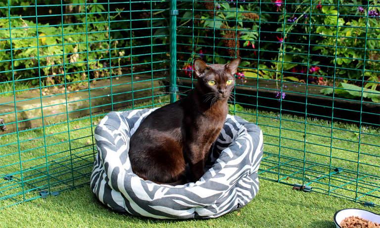 Burmese cat sitting in Outdoor Cat Run